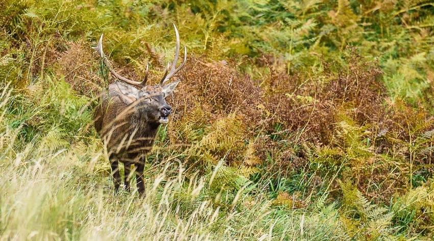 Hirschlos'n im Nationalpark - Herbst
