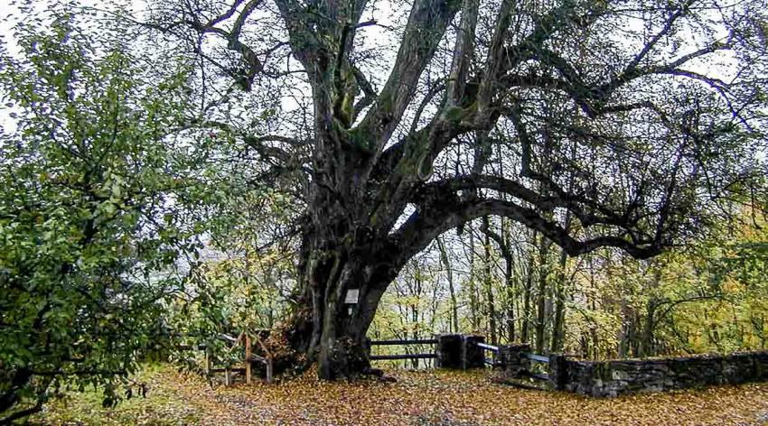 Naturdenkmal (600-jährige) Burglinde vor der Schaunburg