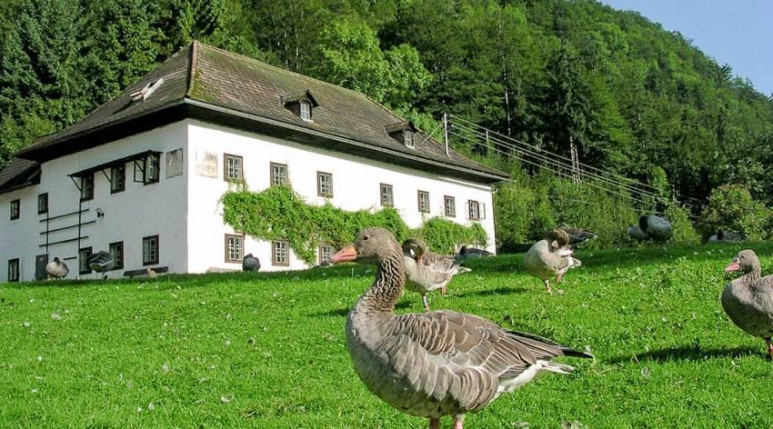 Flattern und Schnattern im Almtal - Auf den Spuren von Konrad Lorenz