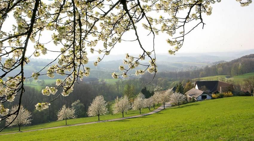 Genießen und Träumen unter Kirschenbäumen