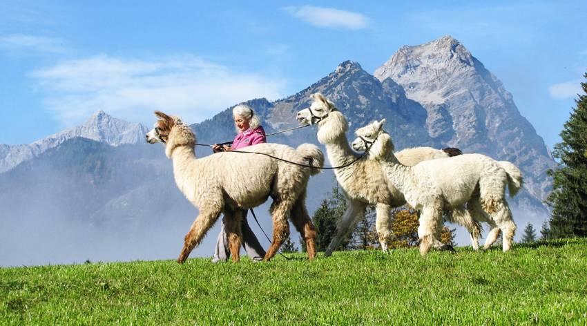 Mit Alpakas und Lamas in die Berge