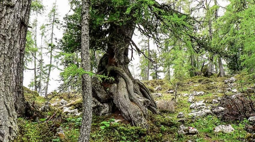 Bergparadies Warscheneck - Der Lärchen-Zirbenurwald im Sommer